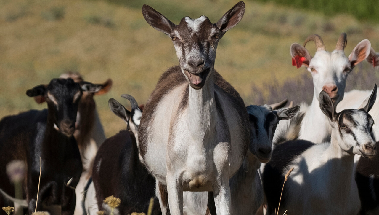 Listen: A Gang of Goats Just Took Over a Welsh Seaside Town