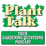 Why Are Potted Tomato Plants Wilting?